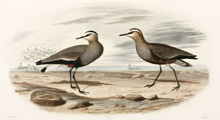 "Sociable plovers, Black Sea Area, 1837"" title=""Sociable plovers, Black Sea Area, 1837"